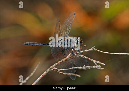 black sympetrum (Sympetrum danae), male on a stem, side view, Germany - Stock Photo