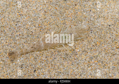 Common shrimp, Common European shrimp, Bbrown shrimp (Crangon crangon), well camouflaged on sandy ground, Germany - Stock Photo