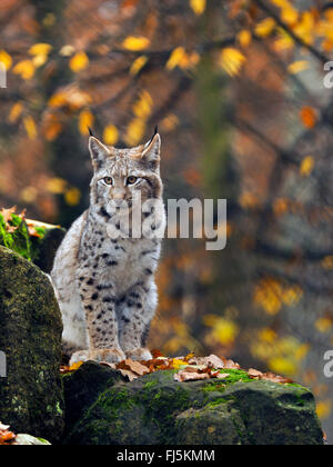 northern lynx (Lynx lynx lynx), young lynx sitting on a boulder, Germany, Bavaria - Stock Photo