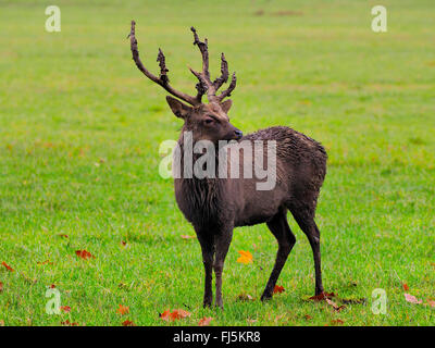 Sika deer, Tame sika deer, Tame deer (Cervus nippon), Sika stag standing in a meadow - Stock Photo