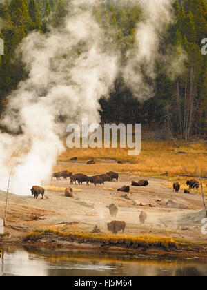 American bison, buffalo (Bison bison), herd of buffalos in front of hot springs, USA, Wyoming, Yellowstone National - Stock Photo