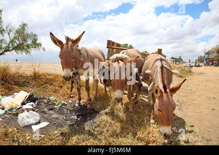 Domestic donkey (Equus asinus asinus), three domestic donkeys, Kenya - Stock Photo