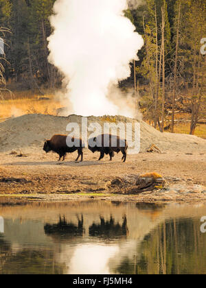 American bison, buffalo (Bison bison), buffalos in front of hot springs, USA, Wyoming, Yellowstone National Park, - Stock Photo