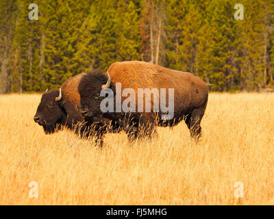 American bison, buffalo (Bison bison), bull and female in mating season, USA, Wyoming, Yellowstone National Park - Stock Photo