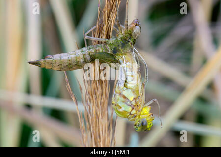 blue-green darner, southern aeshna, southern hawker (Aeshna cyanea), hatching of the dragonfly, Germany, Bavaria - Stock Photo
