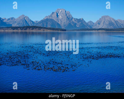 American coot (Fulica americana), Lake Jackson with lots of American coots and Mt. Moran in the back, USA, Wyoming, - Stock Photo
