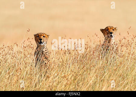 cheetah (Acinonyx jubatus), two cheetahs in the high grass of the savannah, Kenya, Masai Mara National Park - Stock Photo