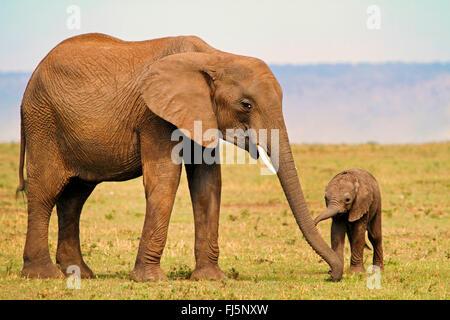 African elephant (Loxodonta africana), female with pup, Kenya, Masai Mara National Park - Stock Photo
