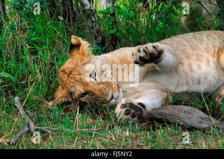 lion (Panthera leo), resting cub, Kenya, Masai Mara National Park - Stock Photo