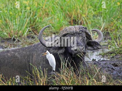 African buffalo (Syncerus caffer), with cattle egret, Kenya, Masai Mara National Park - Stock Photo