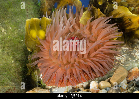 strawberry anemone (Actinia fragacea, Actinia equina var. fragacea), top view - Stock Photo