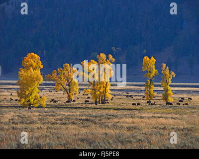 American bison, buffalo (Bison bison), herd of buffalos in Lamar Valley, USA, Wyoming, Yellowstone National Park - Stock Photo
