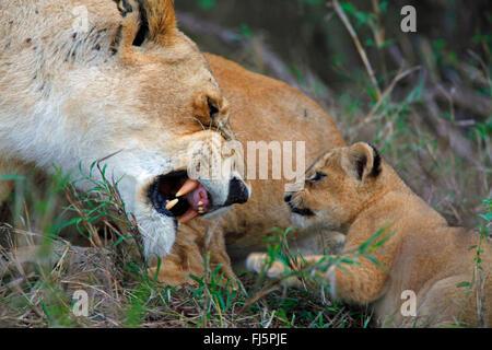 lion (Panthera leo), lioness snarls her cub, Kenya, Masai Mara National Park - Stock Photo