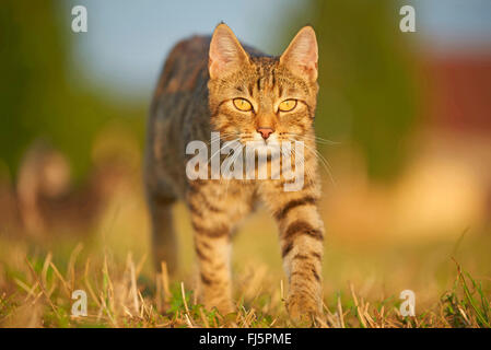 domestic cat, house cat (Felis silvestris f. catus), walking in a meadow, front view, Germany - Stock Photo