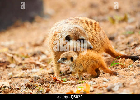 suricate, slender-tailed meerkat (Suricata suricatta), mother with her youngster - Stock Photo