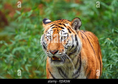 Siberian tiger, Amurian tiger (Panthera tigris altaica), portrait - Stock Photo