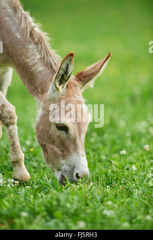 Domestic donkey (Equus asinus asinus), eight hours old donkey foal in a meadow, Germany - Stock Photo