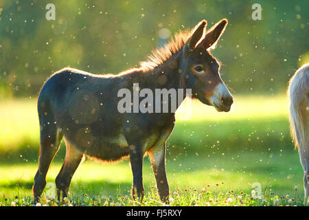 Domestic donkey (Equus asinus asinus), standing in a meadow, Germany - Stock Photo