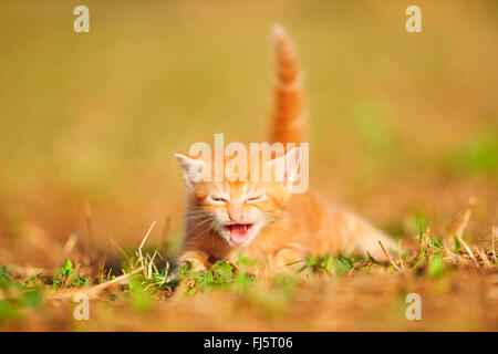 domestic cat, house cat (Felis silvestris f. catus), five weeks old kitten lying in a meadow and miaowing, Germany - Stock Photo