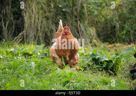 domestic fowl (Gallus gallus f. domestica), brown hen on the feed in a meadow, Germany, Lower Saxony - Stock Photo