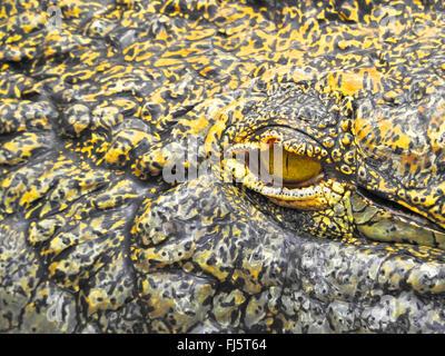 Nile crocodile (Crocodylus niloticus), eye of a crocodile, scaled skin - Stock Photo