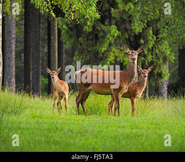 red deer (Cervus elaphus), hind with fawns, Germany, Saxony - Stock Photo