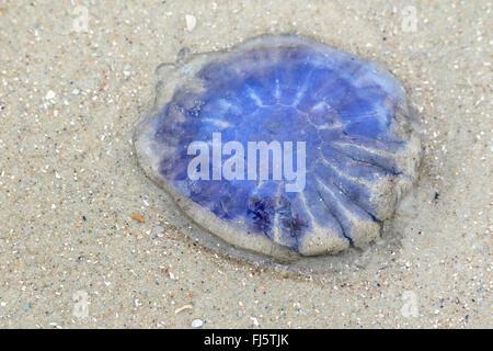 blue lion's mane, cornflower jellyfish (Cyanea lamarcki, Cyanea lamarckii), on the beach, Germany, Lower Saxony, - Stock Photo