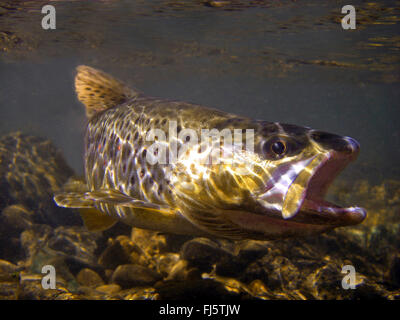 brown trout, river trout, brook trout (Salmo trutta fario), in its habitat, Germany, Baden-Wuerttemberg - Stock Photo