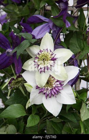 Clematis florida 'Sieboldii' purple and white - Stock Photo