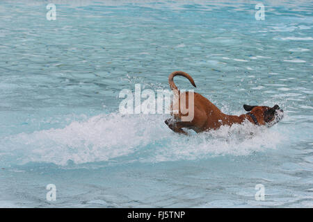mixed breed dog (Canis lupus f. familiaris), six years old boxer mixed breed dog jumping in the water of a swimming - Stock Photo