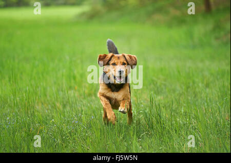 mixed breed dog (Canis lupus f. familiaris), mixed breed dog walking in a meadow, Germany - Stock Photo