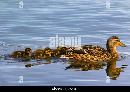 mallard (Anas platyrhynchos), swimming female with chicks, Norway, Troms Stock Photo