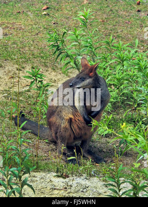 swamp wallaby, black-tail wallaby (Wallabia bicolor), side glance - Stock Photo