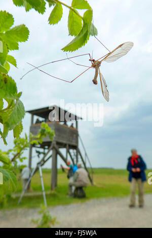 Crane Fly (Tipula spec.), at a twig with leaves, in the background persons at a raised hide, Austria, Burgenland, - Stock Photo