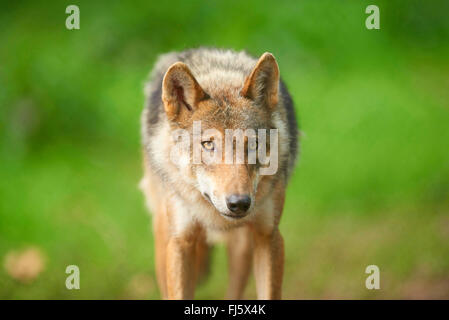 European gray wolf (Canis lupus lupus), portrait of a wolf, front view, Germany, Bavaria - Stock Photo