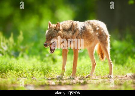 European gray wolf (Canis lupus lupus), wolf displaying teeth, Germany, Bavaria - Stock Photo