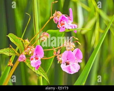 Himalayan balsam, Indian balsam, red jewelweed, ornamental jewelweed, policeman's helmet (Impatiens glandulifera), inflorescence, Germany