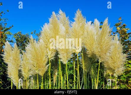 white pampas grass (Cortaderia selloana), inflorescences - Stock Photo