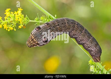 Small elephant hawkmoth, Small elephant hawk-moth (Deilephila porcellus, Pergesa porcellus), caterpillar feeds on - Stock Photo