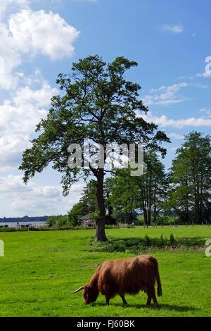 Scottish Highland Cattle, Kyloe (Bos primigenius f. taurus), on a pasture, Zwischenahner Meer, Germany, Lower Saxony, - Stock Photo