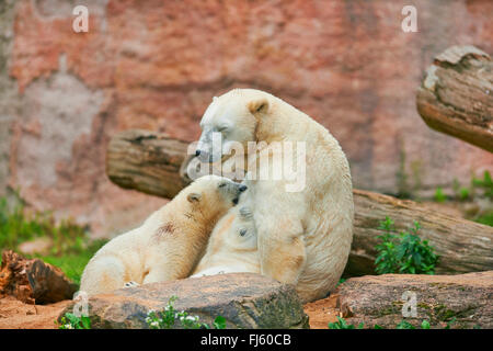 polar bear (Ursus maritimus), polar bear cub is suckled by its mother - Stock Photo