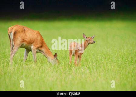 red deer (Cervus elaphus), grazing doe with fawn, Germany, Bavaria - Stock Photo