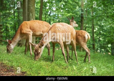 red deer (Cervus elaphus), hinds on a clearing, Germany, Bavaria - Stock Photo