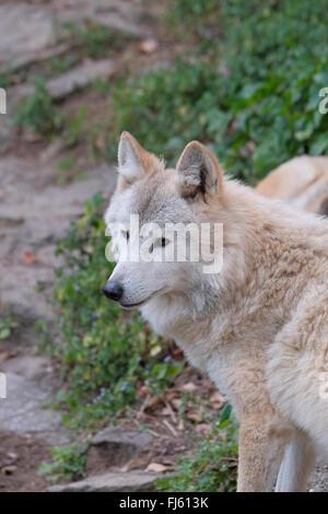 Himalayan wolf, Padmaja Naidu Himalayan Zoological Park, Darjeeling, West Bengal, India. - Stock Photo