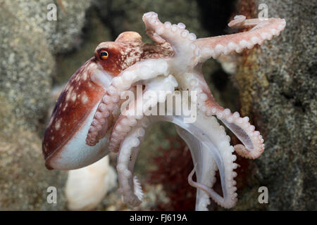 Curled octopus, lesser octopus, horned octopus (Eledone cirrhosa, Ozeana cirrosa), swimming - Stock Photo