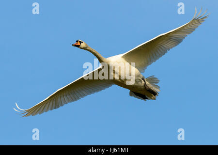 mute swan (Cygnus olor), in flight, Germany - Stock Photo