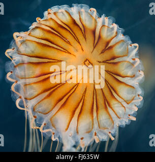 compass jellyfish, red-banded jellyfish (Chrysaora hysoscella), floating in water