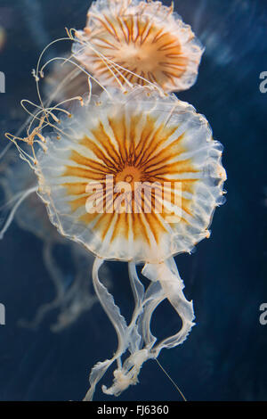 compass jellyfish, red-banded jellyfish (Chrysaora hysoscella), two compass jellyfishes
