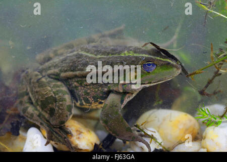 marsh frog, lake frog (Rana ridibunda, Pelophylax ridibundus), on the ground of a pond, Germany, Bavaria - Stock Photo