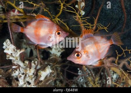 Boarfish, Boar-fish (Capros aper), two boarfishes - Stock Photo